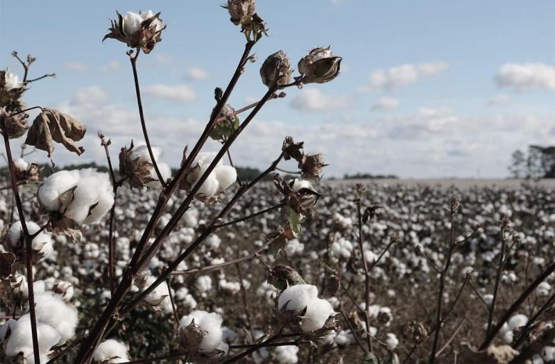 Bio Baumwolle - Organic Cotton